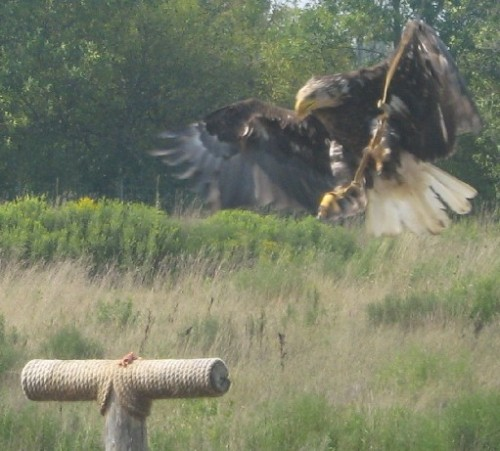 bald eagle swooping - african lionsafari