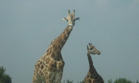boneless giraffenecks
