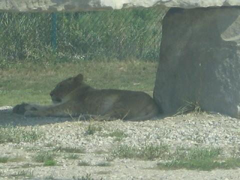 lion around asper
